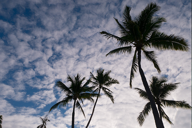 Hawaii_Palm_trees