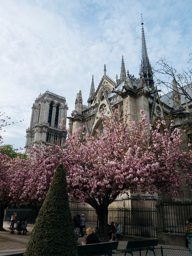 pink blossoms at Notre Dame Paris