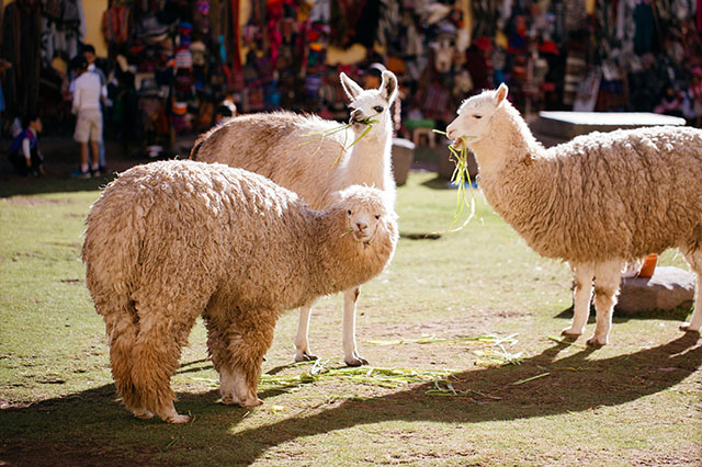 exploring cusco alpacas