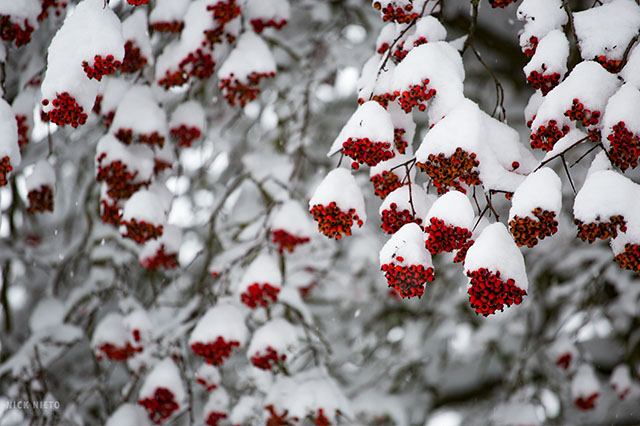 holly berries in snow in Portland Oregon