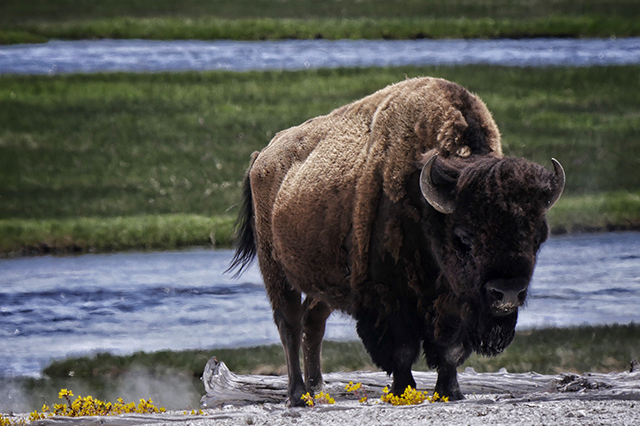 Seeing Bison in Yellowstone