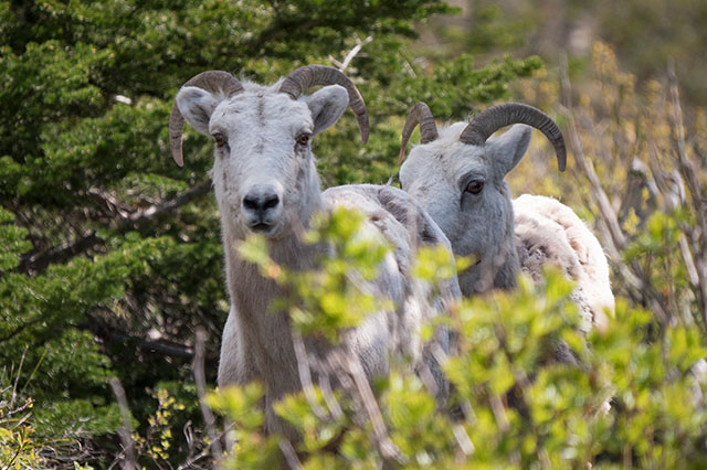 mountain goats in East Glacier National Park