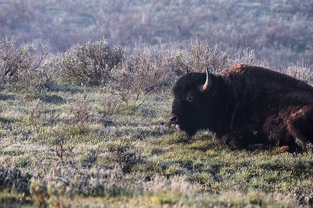 Grand Canyon of the Yellowstone at Sunrise bison