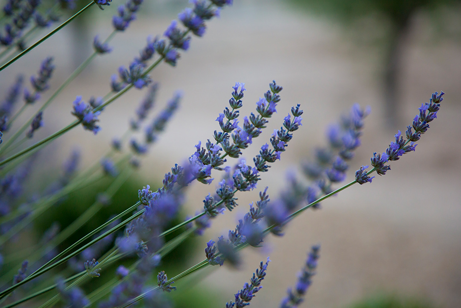 lavender in france in the summer