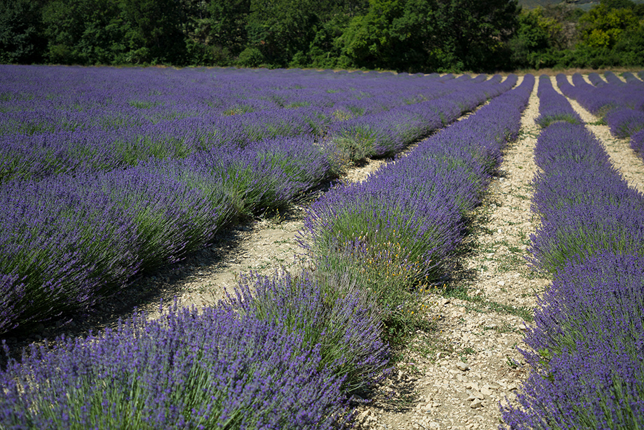 summer lavender in Provence France
