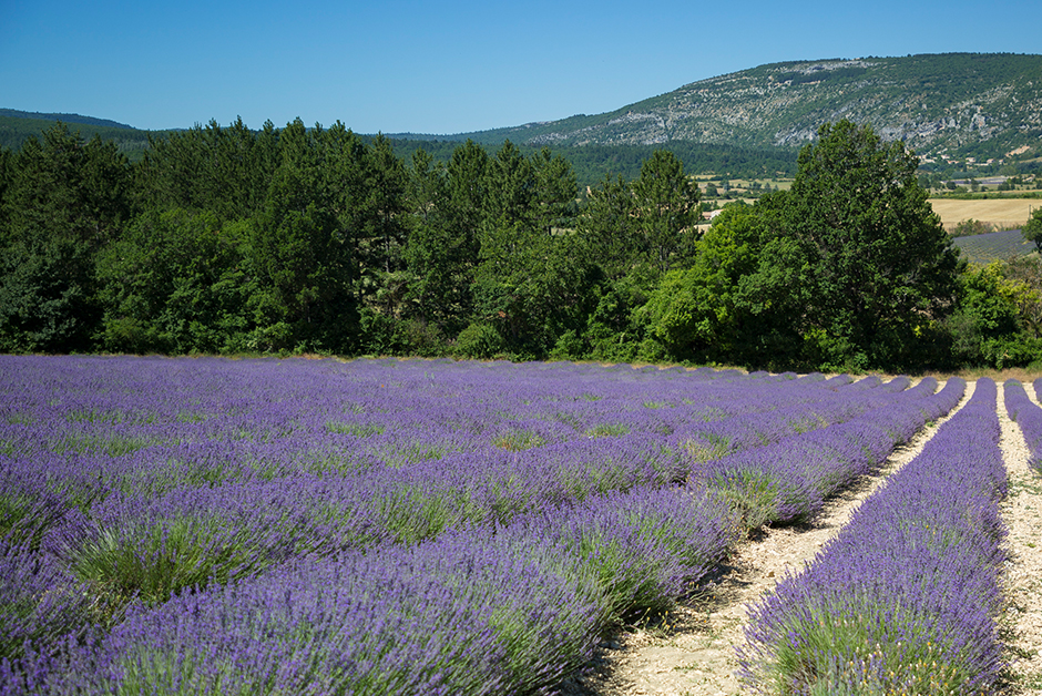 dreamiest experiences on the planet lavender in Provence