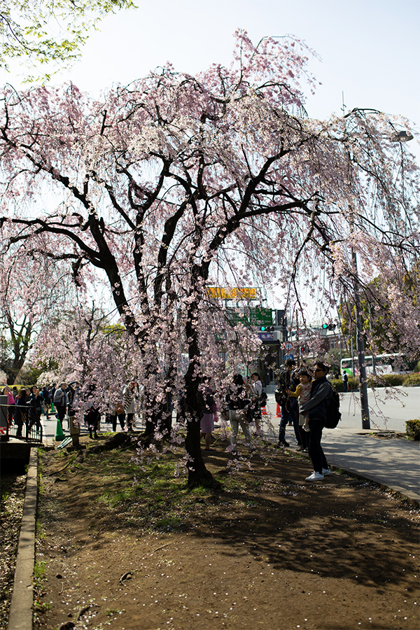 tokyo for 24 hours in cherry blossom season