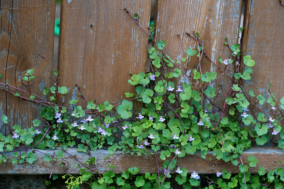 vines on a fence