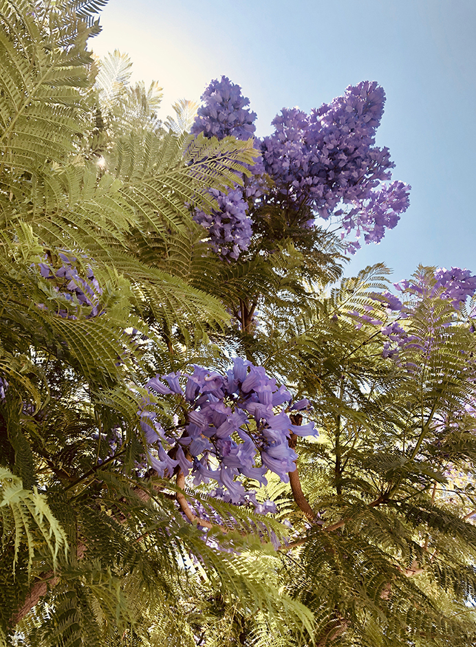 jacaranda tree Southern California