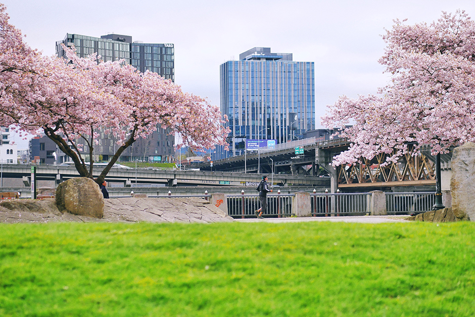 portland waterfront park cherry blossoms