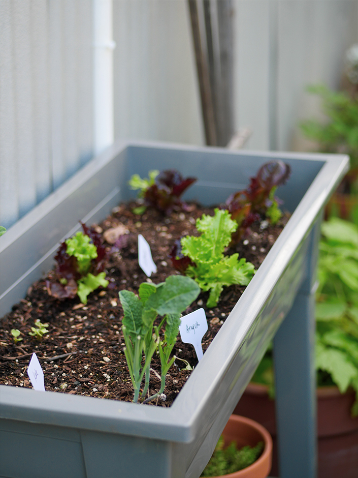 growing lettuce arugula in a raised bed