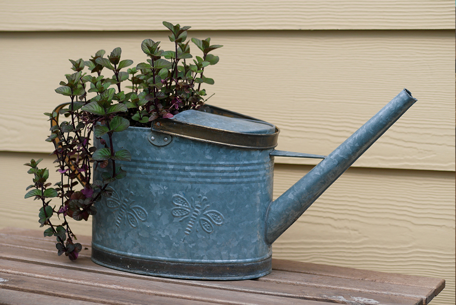 growing orange mint in vintage watering can